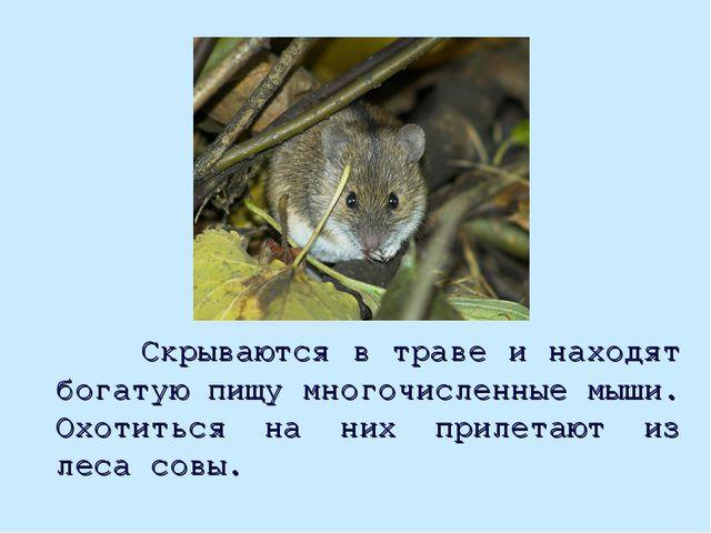 Скрываются в траве и находят богатую пищу многочисленные мыши. Охотиться на...