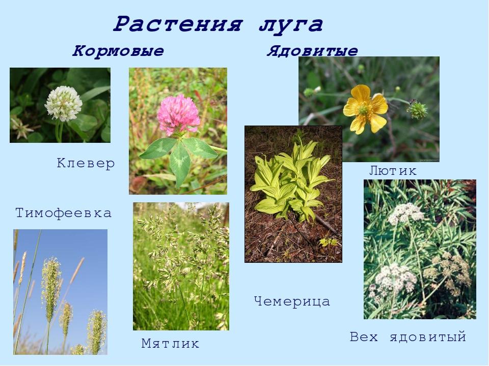 основной конструкции ядовитые полевые растения фото и названия данной статье фото
