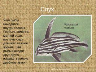 Слух Уши рыбы находятся внутри головы. Горбыль живет в мутной воде, поэтому с