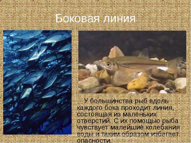 Боковая линия У большинства рыб вдоль каждого бока проходит линия, состоящая...