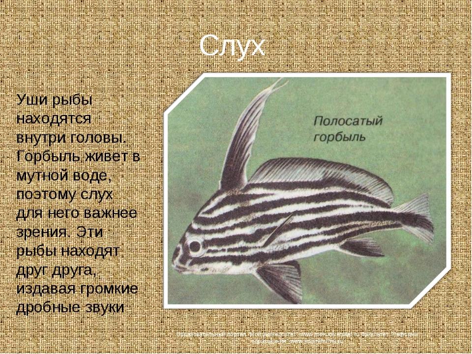 Слух Уши рыбы находятся внутри головы. Горбыль живет в мутной воде, поэтому с...