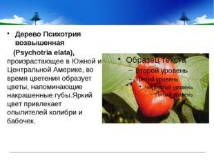 ДеревоПсихотрия возвышенная (Psychotria elata), произрастающее в Южной и Ц