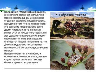 Вельвичия (Welwítschia mirábilis). Вне всякого сомнения, вельвичию можно наз