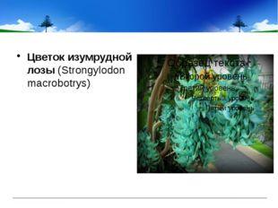 Цветок изумрудной лозы(Strongylodon macrobotrys)