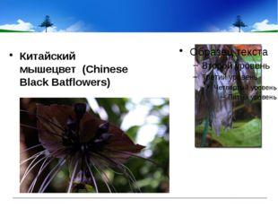 Китайский мышецвет (Chinese Black Batflowers)