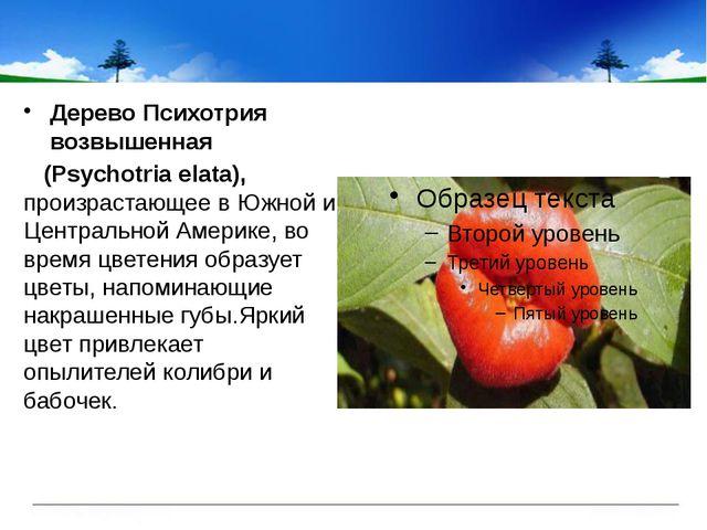 ДеревоПсихотрия возвышенная (Psychotria elata), произрастающее в Южной и Ц...