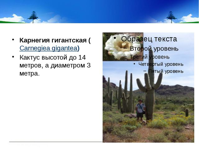 Карнегия гигантская(Carnegiea gigantea) Кактус высотой до 14 метров, а диа...