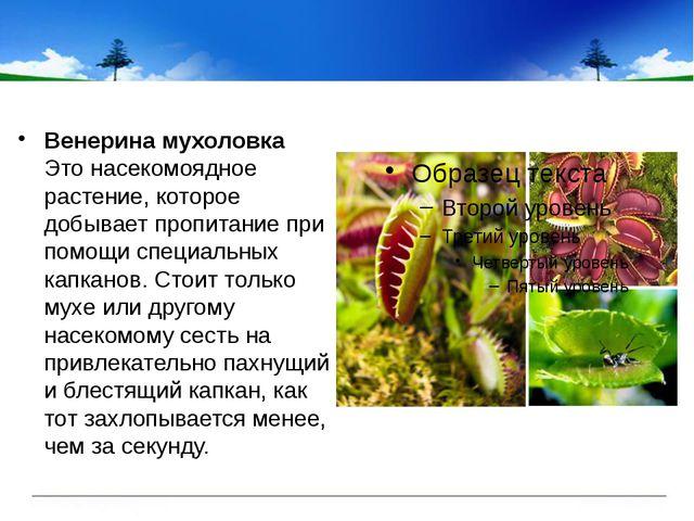 Венерина мухоловка Это насекомоядное растение, которое добывает пропитание п...