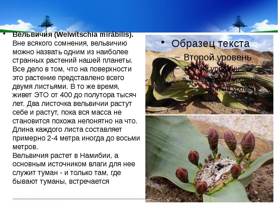 Вельвичия (Welwítschia mirábilis). Вне всякого сомнения, вельвичию можно наз...