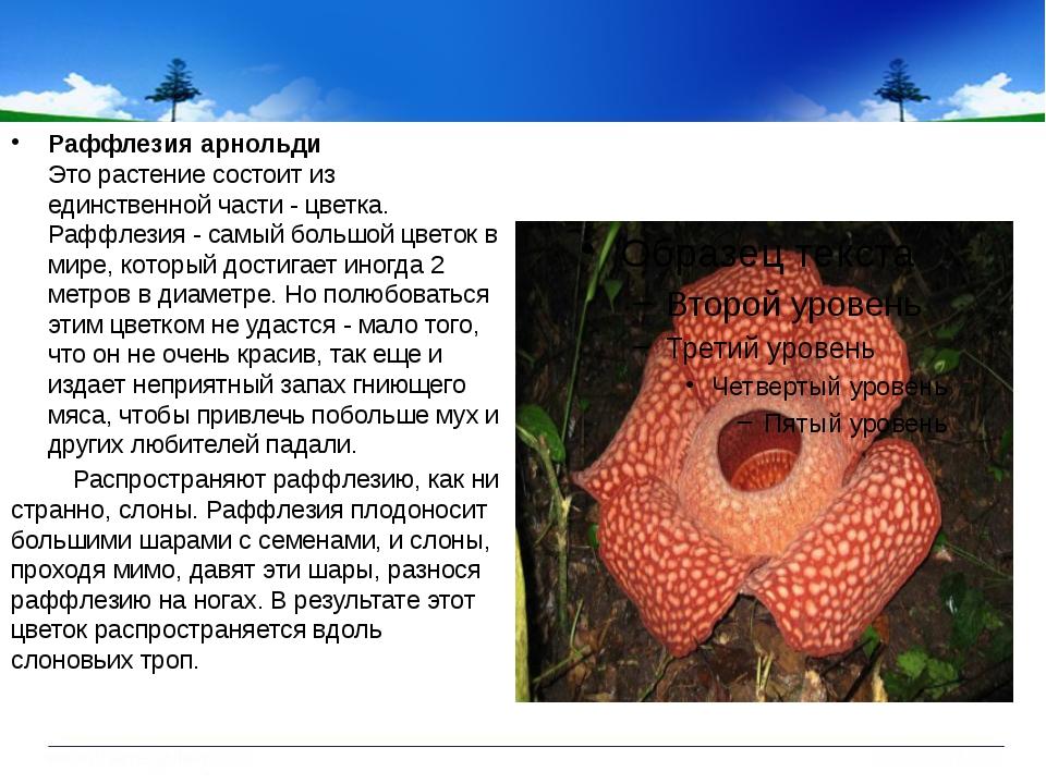 Раффлезия арнольди Это растение состоит из единственной части - цветка. Раф...