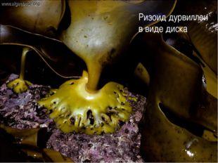 Ризоид дурвиллеи в виде диска