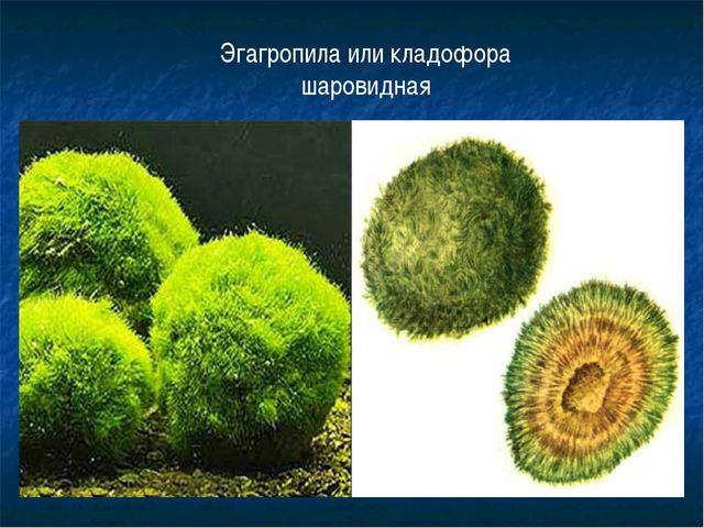 Эгагропила или кладофора шаровидная