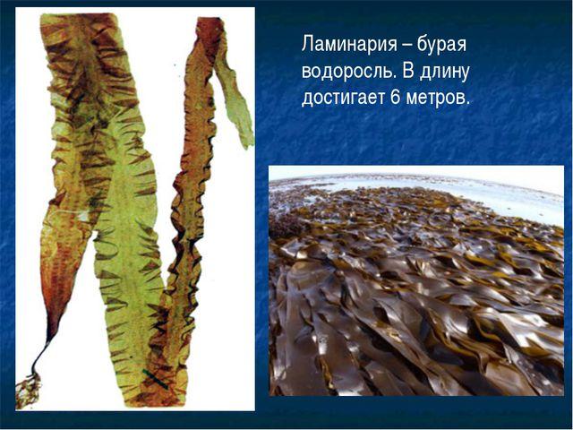 Ламинария – бурая водоросль. В длину достигает 6 метров.