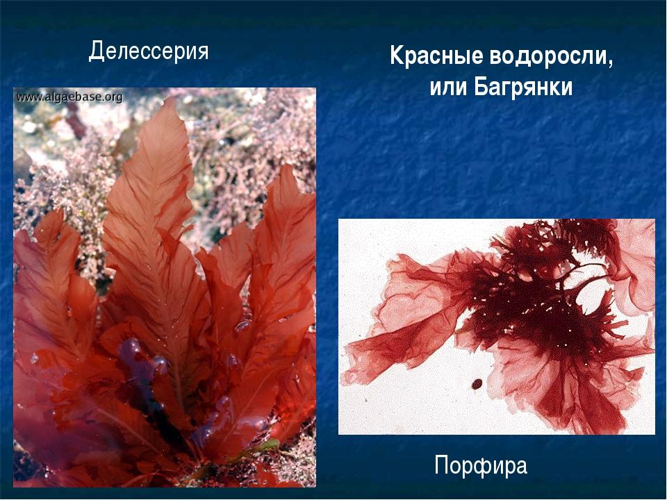 Делессерия Порфира Красные водоросли, или Багрянки