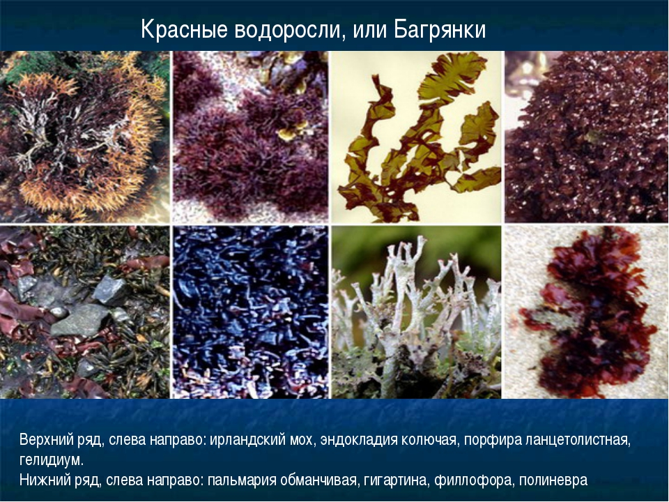 Красные водоросли, или Багрянки Верхний ряд, слева направо: ирландский мох, э...