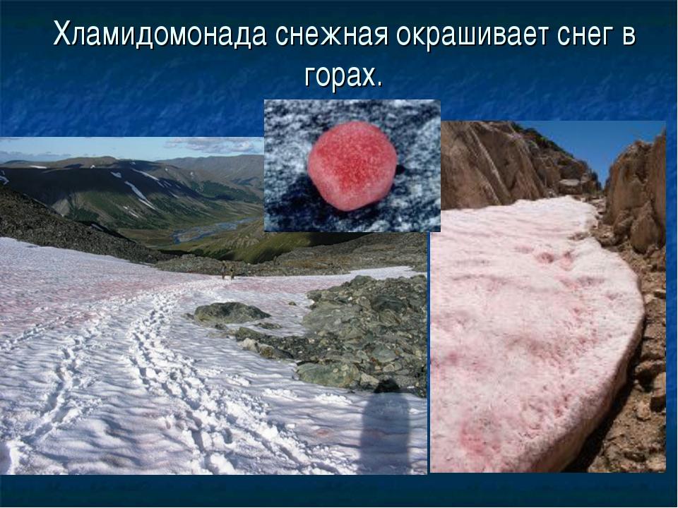 Хламидомонада снежная окрашивает снег в горах.