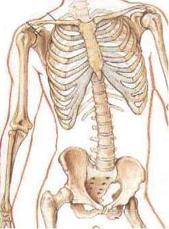 фрагмент скелета
