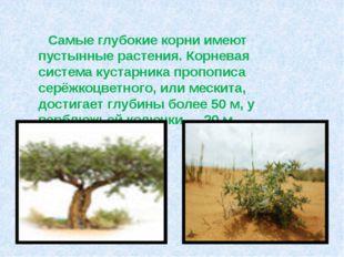 Самые глубокие корни имеют пустынные растения. Корневая система кустарника