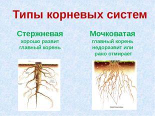Типы корневых систем Стержневая хорошо развит главный корень Мочковатая главн