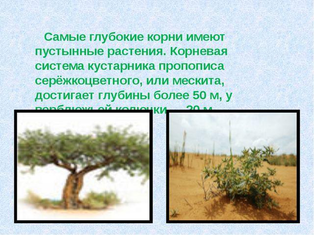 Самые глубокие корни имеют пустынные растения. Корневая система кустарника...