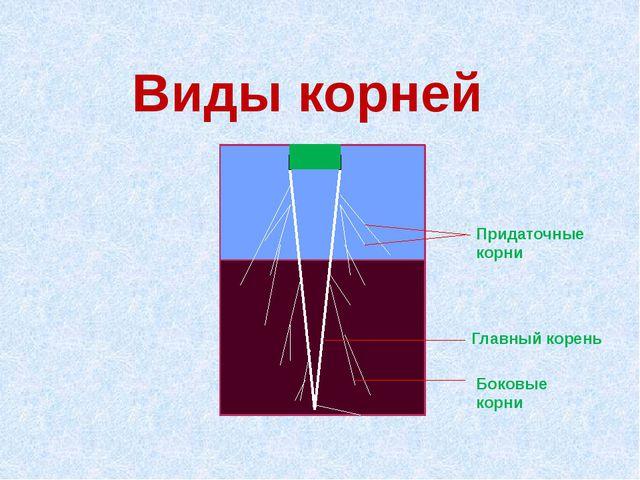 Виды корней Придаточные корни Главный корень Боковые корни