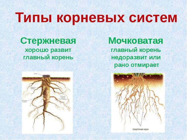 Типы корневых систем Стержневая хорошо развит главный корень Мочковатая главн...