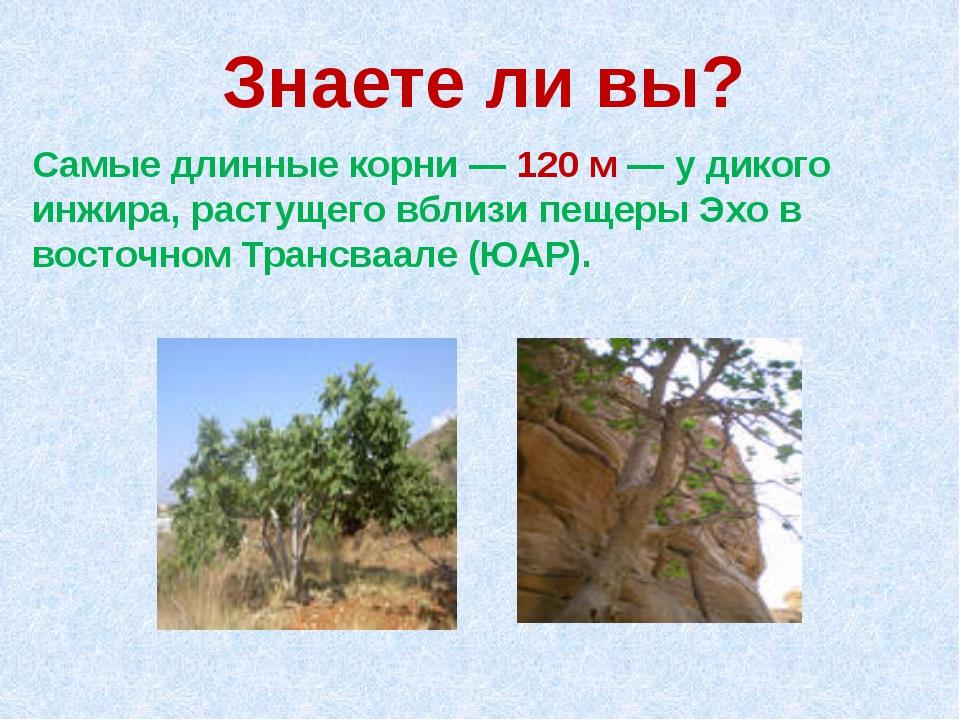 Знаете ли вы? Самые длинные корни — 120 м — у дикого инжира, растущего вблизи...