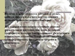 Наличие в доме гибискуса (китайской розы), циссуса, фикуса ползучего заметно
