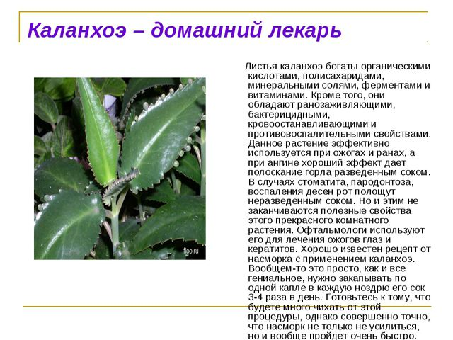 Каланхоэ – домашний лекарь Листья каланхоэ богаты органическими кислотами, п...
