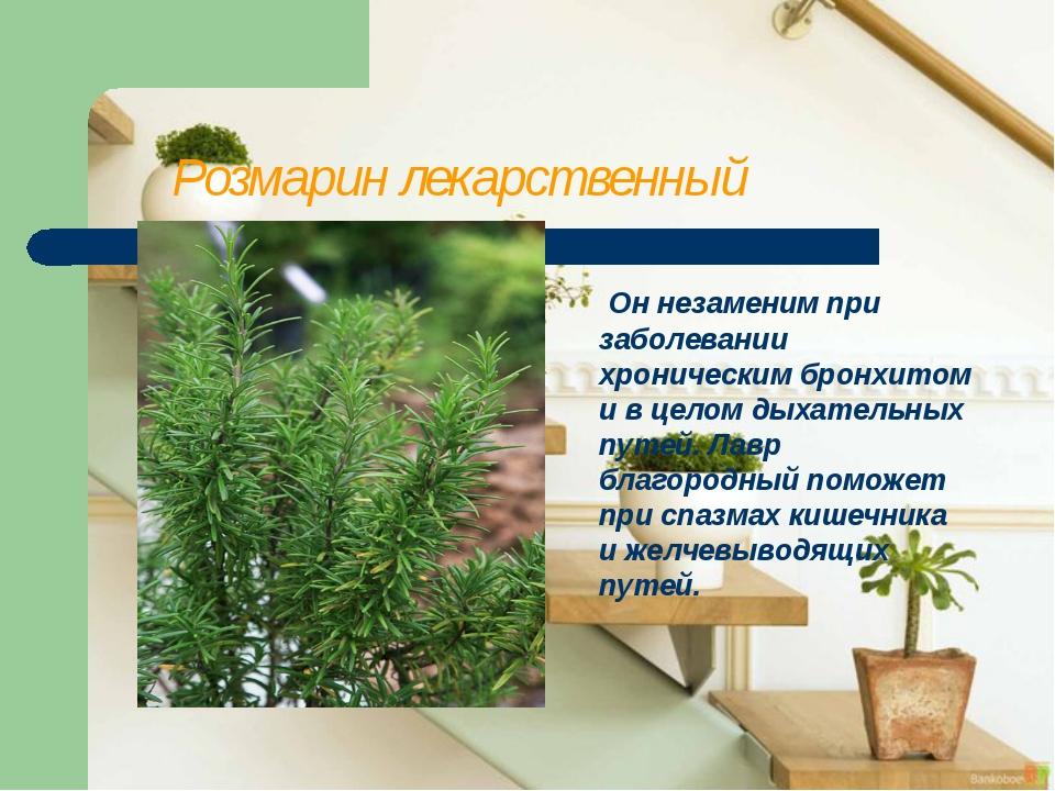 Розмарин лекарственный Он незаменим при заболевании хроническим бронхитом и...