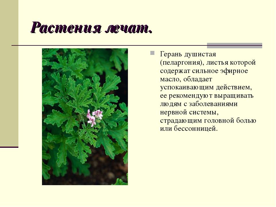 Растения лечат. Герань душистая (пеларгония), листья которой содержат сильное...