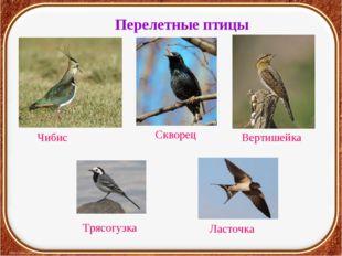 Перелетные птицы Чибис Скворец Вертишейка Ласточка Трясогузка