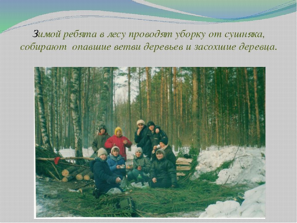 Зимой ребята в лесу проводят уборку от сушняка, собирают опавшие ветви деревь...