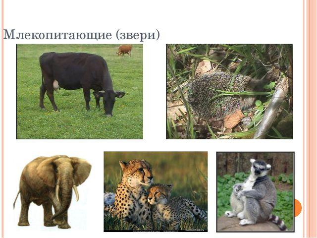 Млекопитающие (звери)