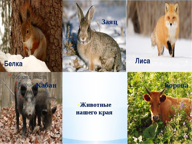 «Животные нашего края Белка Заяц Лиса Кабан Корова