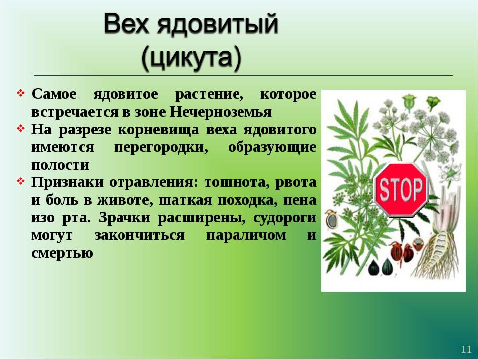 Самое ядовитое растение, которое встречается в зоне Нечерноземья На разрезе к...