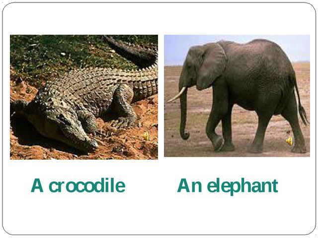 A crocodile An elephant