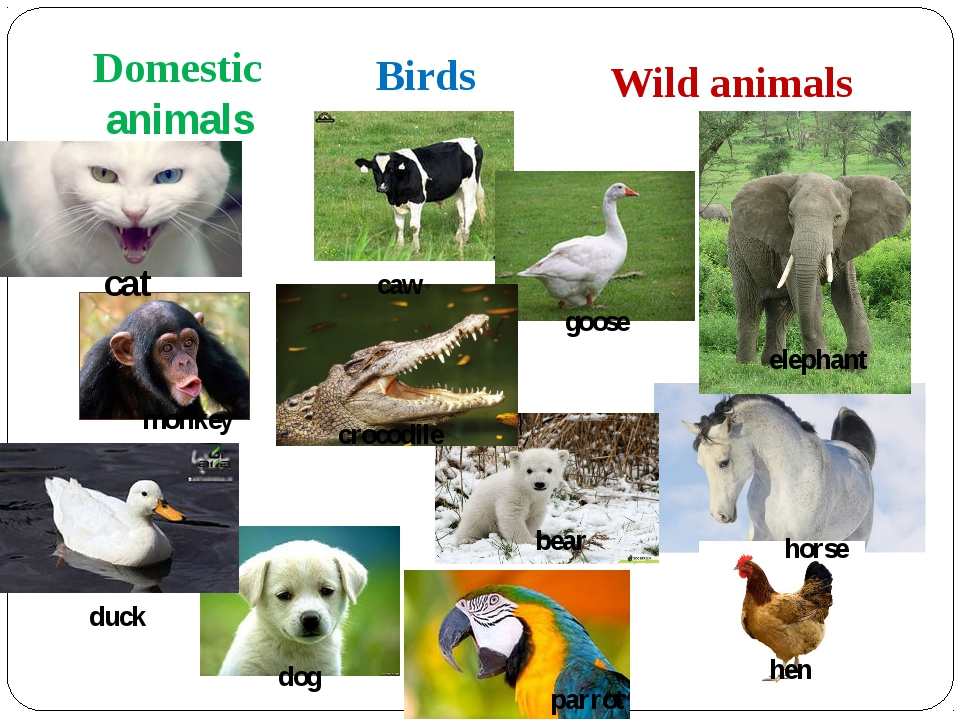 Domestic animals Birds Wild animals cat crocodile goose caw monkey elephant h...