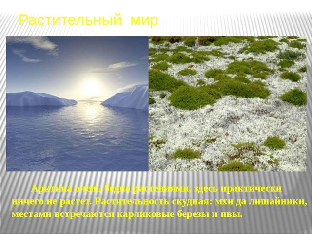 Растительный мир Карликовая береза Карликовая ива Полярный мак