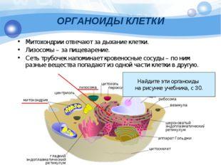 ОРГАНОИДЫ КЛЕТКИ Митохондрии отвечают за дыхание клетки. Лизосомы – за пищева