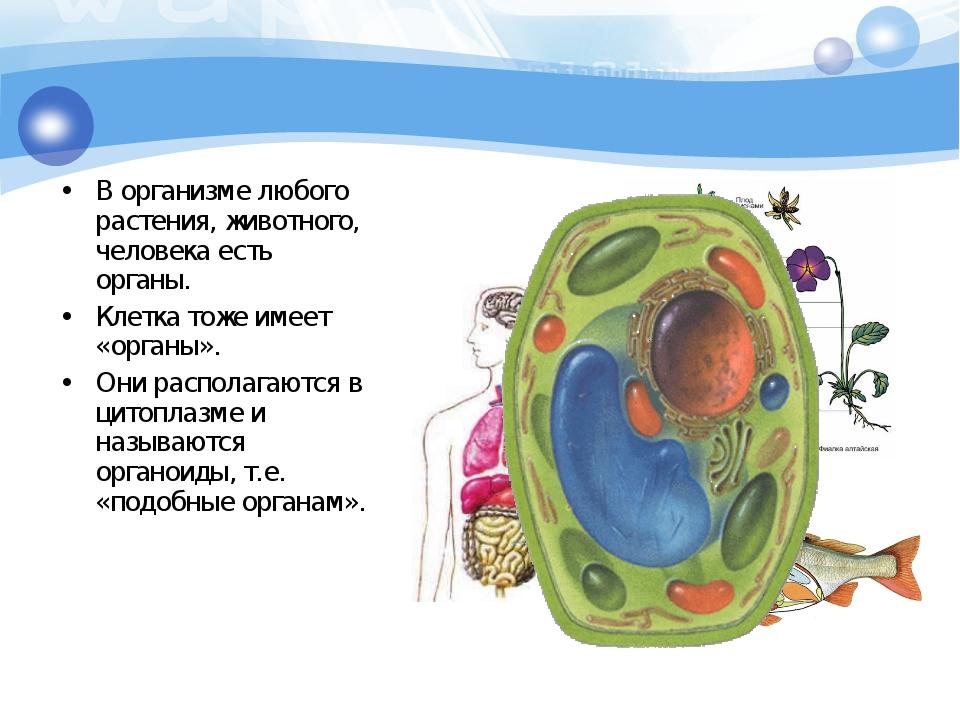 В организме любого растения, животного, человека есть органы. Клетка тоже име...