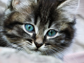 http://backgroundmachine.com/wp-content/uploads/2015/07/HD-Grey-Kitten-with-Blue-Eyes-Background.jpg
