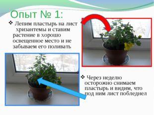 Опыт № 1: Лепим пластырь на лист хризантемы и ставим растение в хорошо освеще