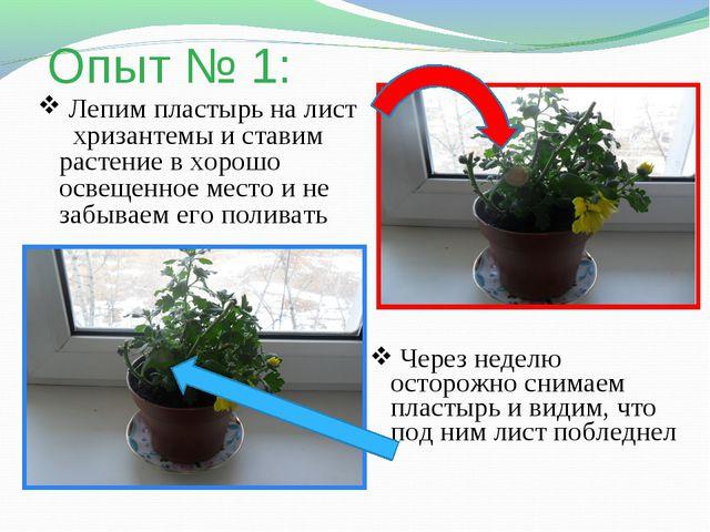 Опыт № 1: Лепим пластырь на лист хризантемы и ставим растение в хорошо освеще...