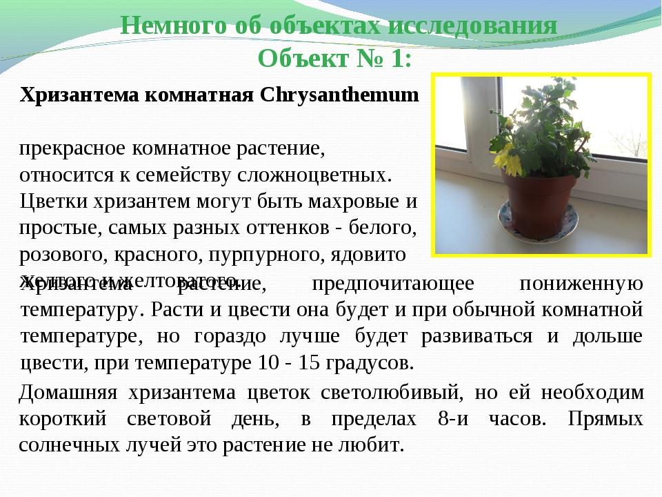 Домашняя хризантема цветок светолюбивый, но ей необходим короткий световой де...
