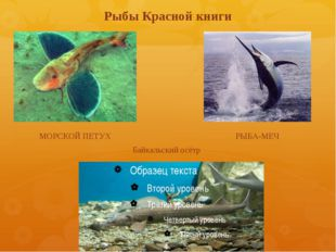 Рыбы Красной книги МОРСКОЙ ПЕТУХ РЫБА-МЕЧ Байкальский осётр