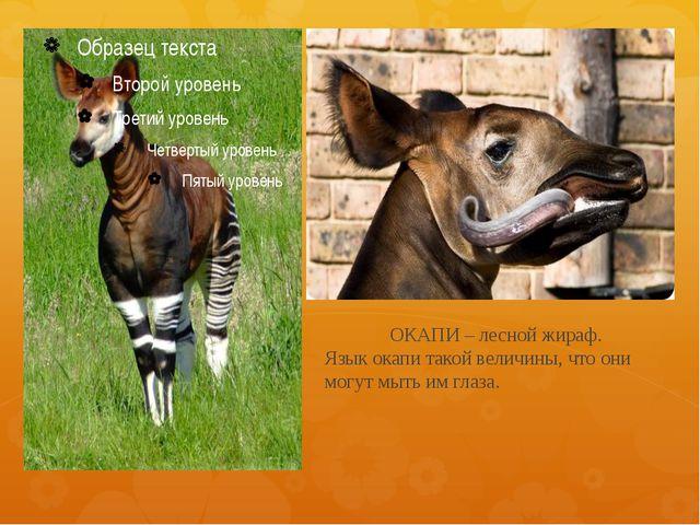 ОКАПИ – лесной жираф. Язык окапи такой величины, что они могут мыть им глаза.