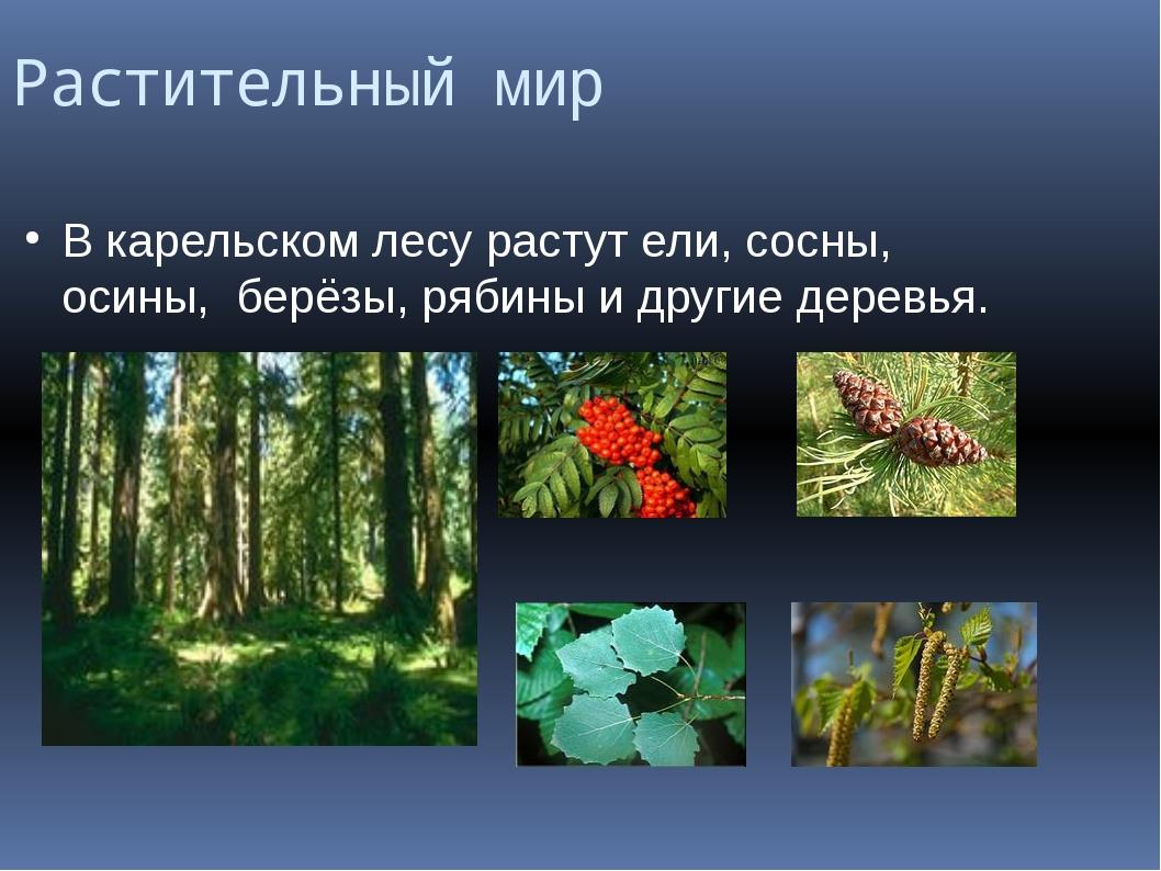 Растительный мир В карельском лесу растут ели, сосны, осины, берёзы, рябины и...