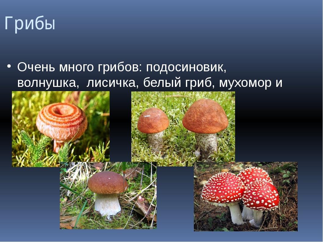 Грибы Очень много грибов: подосиновик, волнушка, лисичка, белый гриб, мухомор...