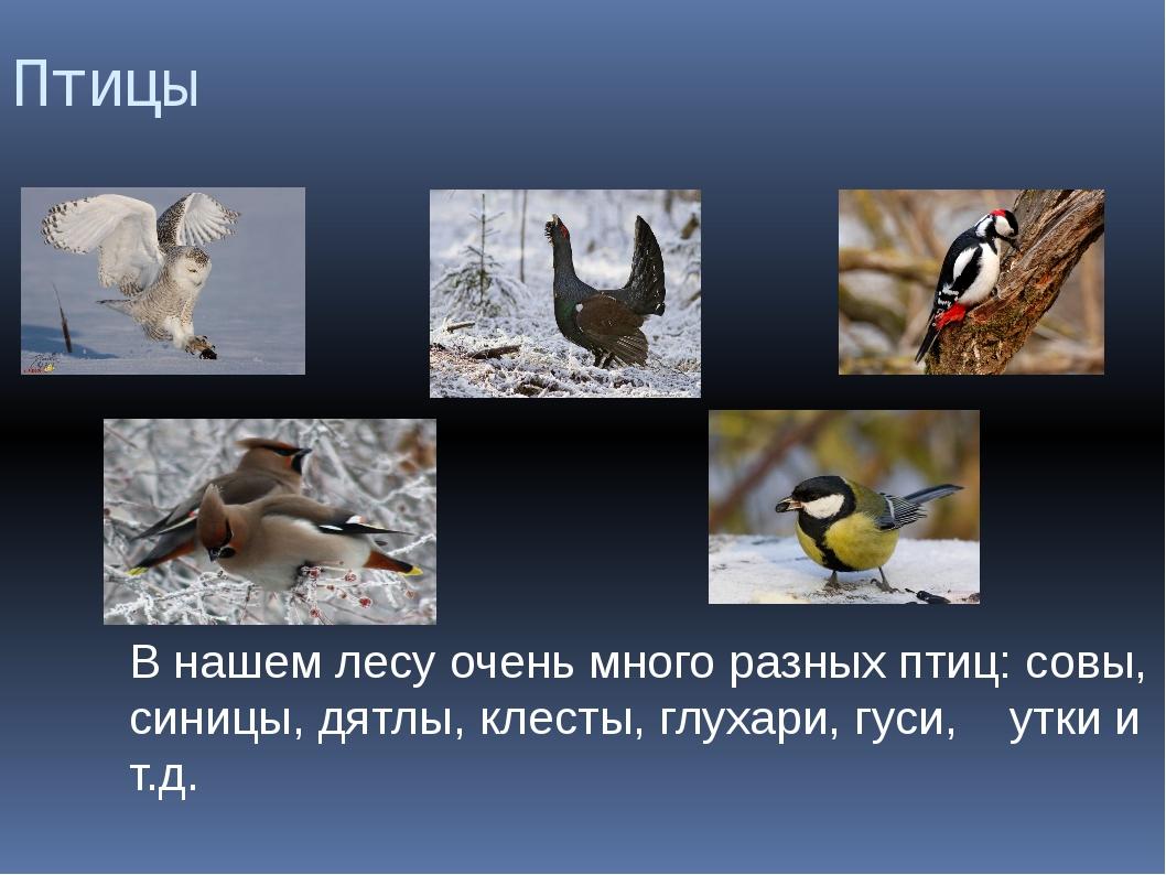 Птицы В нашем лесу очень много разных птиц: совы, синицы, дятлы, клесты, глух...